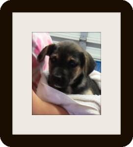 Shepherd (Unknown Type) Mix Puppy for adoption in Woodlyn, Pennsylvania - Lara