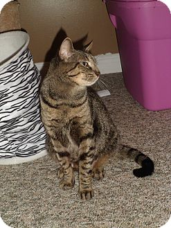 Domestic Shorthair Cat for adoption in Douglas, Ontario - Spice