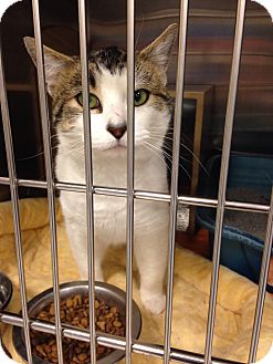 Domestic Shorthair Cat for adoption in Muncie, Indiana - Andy