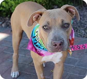American Pit Bull Terrier Mix Puppy for adoption in Las Vegas, Nevada - CINDY