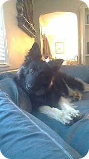 German Shepherd Dog Mix Dog for adoption in Fayette City, Pennsylvania - Maxine