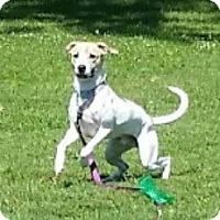 Adopt A Pet :: Koda - Caledon, ON