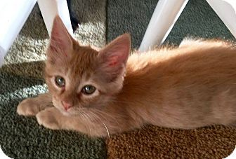Domestic Mediumhair Kitten for adoption in San Antonio, Texas - Anna
