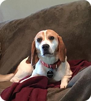 Beagle Mix Dog for adoption in Rexford, New York - Bullet