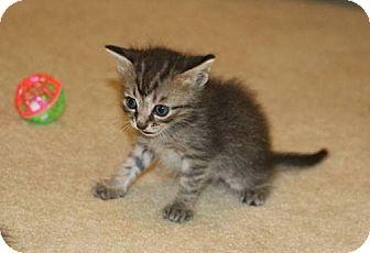 Domestic Shorthair Kitten for adoption in Wilmore, Kentucky - Alfie