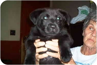 Labrador Retriever Mix Puppy for adoption in all of, Connecticut - Berry