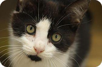 Domestic Shorthair Cat for adoption in Greensboro, Georgia - Glitter