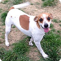 Jack Russell Terrier/Chihuahua Mix Dog for adoption in Russellville, Kentucky - Candy Q