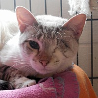 Adopt A Pet :: Chai - Palo Cedro, CA