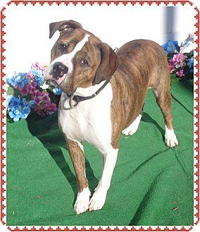 Boxer Mix Dog for adoption in Marietta, Georgia - TONY