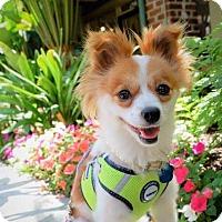 Adopt A Pet :: Candy - La Mirada, CA