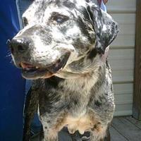 Adopt A Pet :: Blue - Opelousas, LA