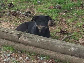 German Shepherd Dog Mix Dog for adoption in Normal, Illinois - Amelia