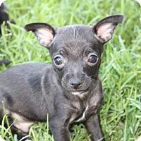 Adopt A Pet :: Star Lord - Phoenix, AZ