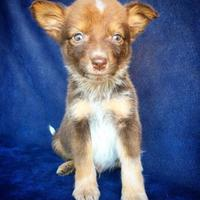 Adopt A Pet :: Jesse - Fredericksburg, TX