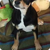 Adopt A Pet :: Petra - Mesa, AZ