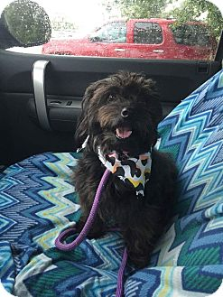 Cairn Terrier Mix Dog for adoption in Sagaponack, New York - Rageddy Ann