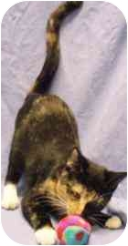 Domestic Shorthair Kitten for adoption in Walker, Michigan - Cleopatra