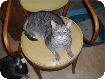 Domestic Shorthair Cat for adoption in Hamburg, New York - Bjorn