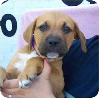 Bullmastiff/American Pit Bull Terrier Mix Puppy for adoption in West Los Angeles, California - Lestat