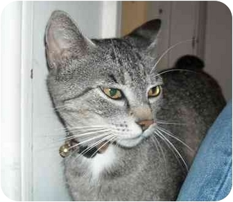 Domestic Shorthair Cat for adoption in Irvine, California - Layla