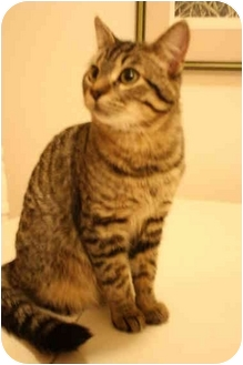 Domestic Shorthair Cat for adoption in Okotoks, Alberta - Fin
