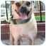 Photo 2 - Pug/Beagle Mix Dog for adoption in Poway, California - Lady Luck