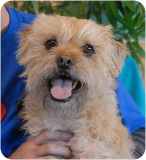 Brussels Griffon/Terrier (Unknown Type, Small) Mix Dog for adoption in Las Vegas, Nevada - Ralph