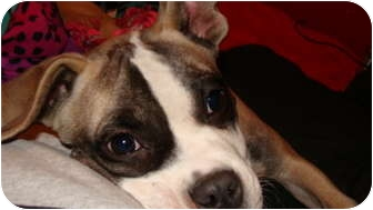 Boxer Mix Puppy for adoption in Bay City, Michigan - Adele~~adopted 2/2012~~