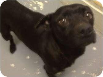 Pug/Labrador Retriever Mix Dog for adoption in Phoenix, Arizona - Betty