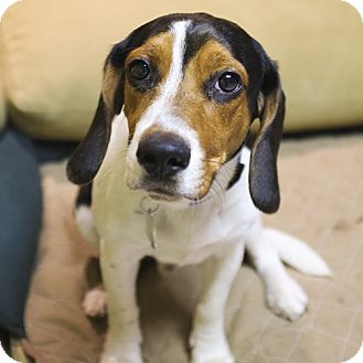 Beagle Mix Dog for adoption in Philadelphia, Pennsylvania - Remi