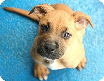 Boxer/Mastiff Mix Puppy for adoption in Snohomish, Washington - Hunt and Harry