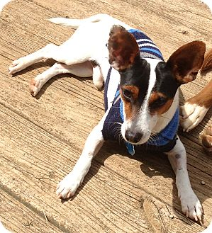 Jack Russell Terrier Dog for adoption in Staunton, Virginia - Jake