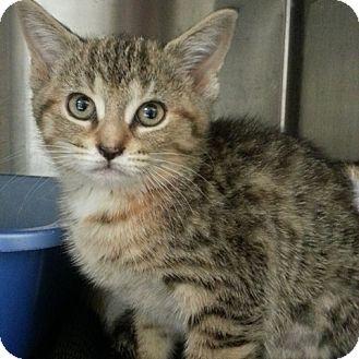 Domestic Shorthair Kitten for adoption in Toronto, Ontario - Fiona