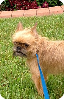 Brussels Griffon Mix Dog for adoption in LaGrange, Kentucky - ZANE