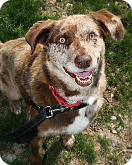Australian Shepherd Mix Dog for adoption in Bellingham, Washington - Sadie