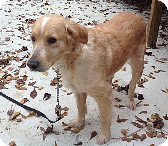 Golden Retriever Mix Dog for adoption in New Canaan, Connecticut - Sara