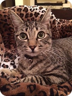 Domestic Shorthair Cat for adoption in Corona, California - RICHARD, TINY ADULT!