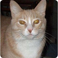 Domestic Shorthair Cat for adoption in Watsontown, Pennsylvania - Leah
