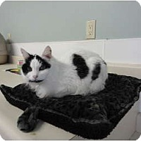 Adopt A Pet :: Sassafrass - Kingston, WA