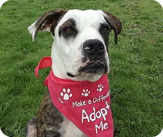 Boxer/Great Dane Mix Puppy for adoption in Grants Pass, Oregon - Emma