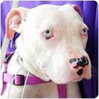 Dogo Argentino/Boxer Mix Puppy for adoption in Beachwood, Ohio - Alexis