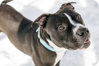 Pit Bull Terrier Mix Dog for adoption in Villa Park, Illinois - Indy