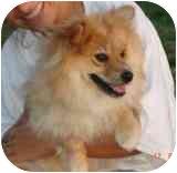 "Pomeranian Puppy for adoption in Auburn, Kansas - ""Pommie"""