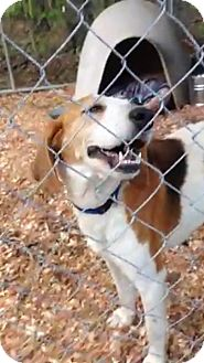 Hound (Unknown Type) Mix Dog for adoption in Henderson, North Carolina - Abby