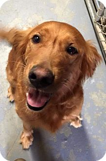 Golden Retriever Mix Dog for adoption in Danbury, Connecticut - Genesis