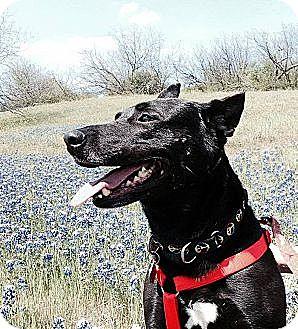 Shepherd (Unknown Type)/Labrador Retriever Mix Dog for adoption in Irving, Texas - Stallone