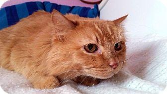 Domestic Longhair Cat for adoption in Las Vegas, Nevada - Rusty