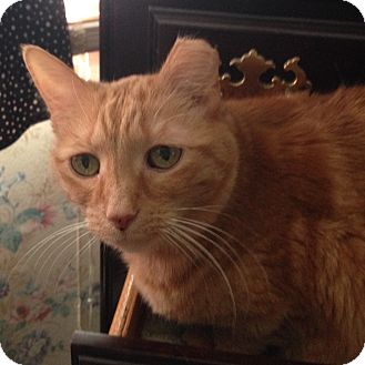 American Shorthair Cat for adoption in Livonia, Michigan - Molly