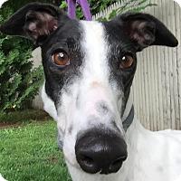 Adopt A Pet :: Kayla - Swanzey, NH
